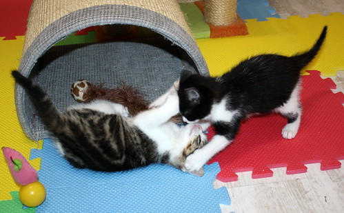 Alice, gatita blanquinegra monisima y dulce nacida en Noviembre´17, en adopción. Valencia. ADOPTADA. 24308935187_697c91c97d