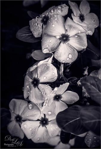 Image of some Vinca Flowers with water droplets on them