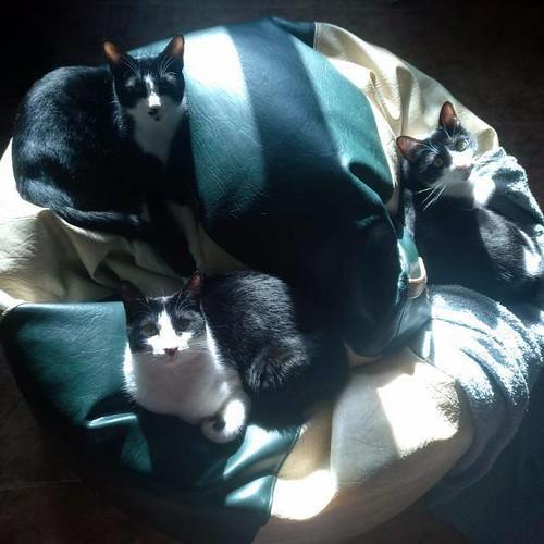 Clooney, gatito blanquinegro muy guapo con perilla, apto para perros y esterilizado nacido en Enero´17, en adopción. Valencia. ADOPTADO. 26784961258_db6f864337