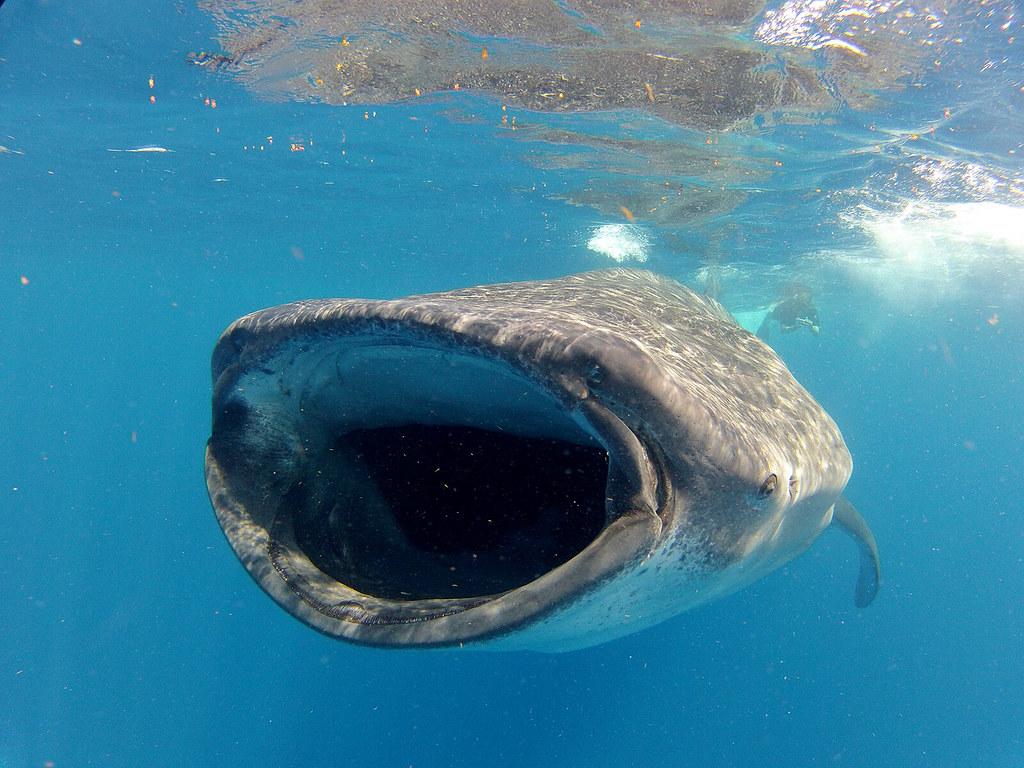 鯨鯊。圖片來源:Russ Soukoreff(CC BY-NC 2.0)