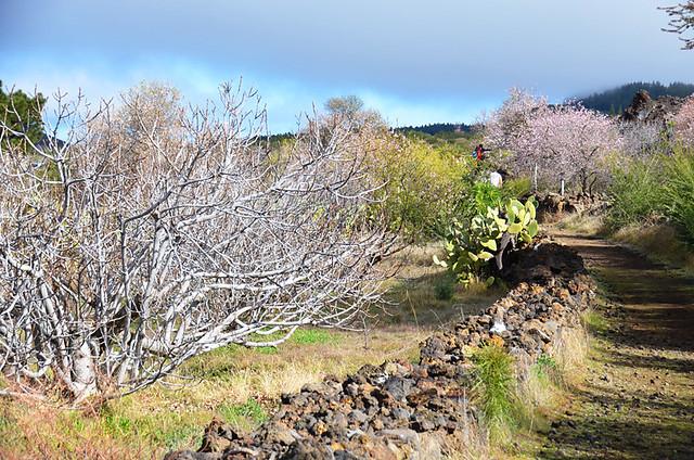 Almond blossom route, Santiago del Teide, Tenerife