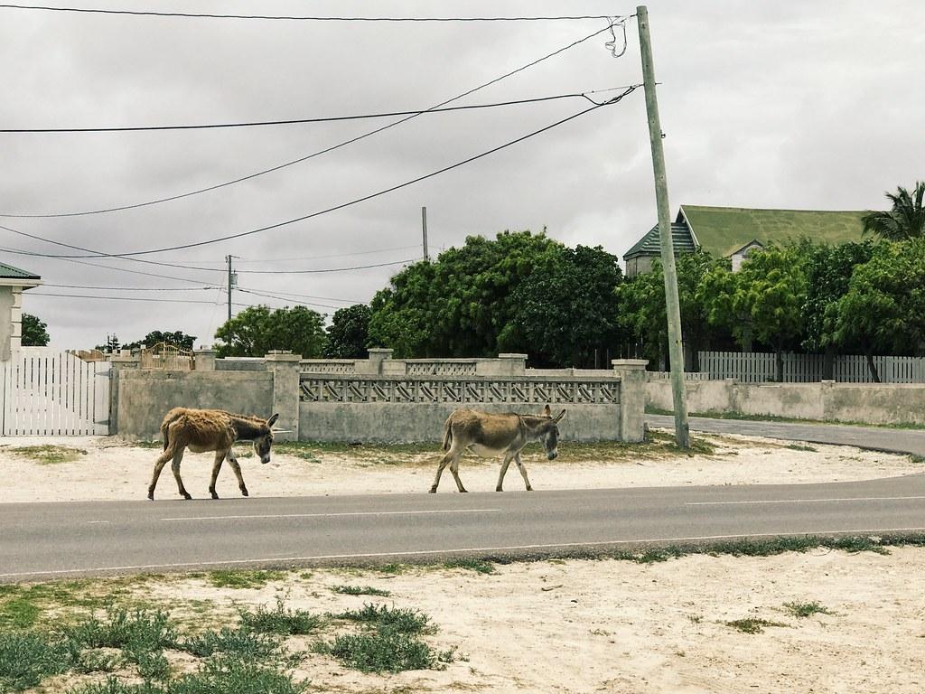 Grand Turk wild donkeys
