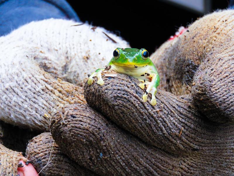 小溪邊的斯文豪氏蛙