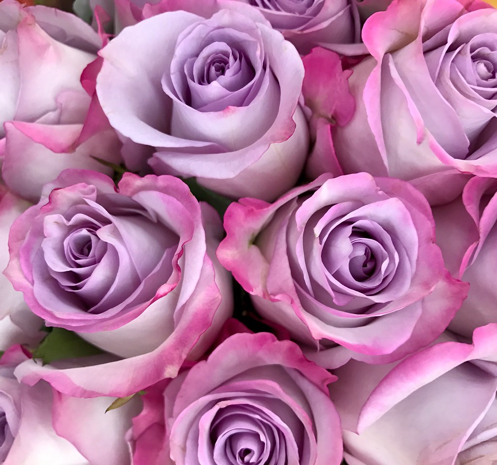 Purple and pink roses suzanne flickr purple and pink roses by sctatepdx junglespirit