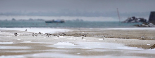Becasseaux Sanderling | by hervé Inisan