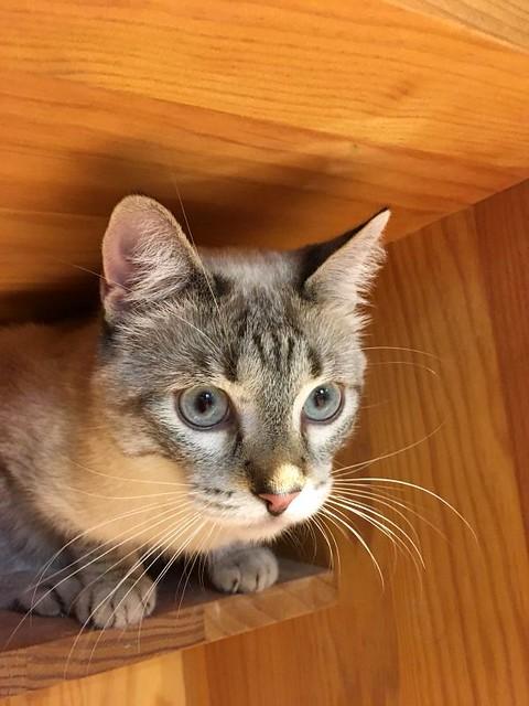 Mambo, gato siamés tabby extrovertido y bueno esterilizado, nacido en Febrero´17, en adopción. Valencia. ADOPTADO. 39844953281_dfd837d64b_z