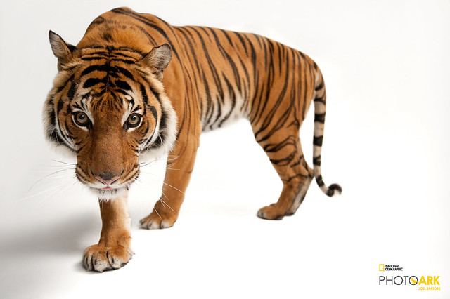 An endangered Malayan tiger stands on a white surface.
