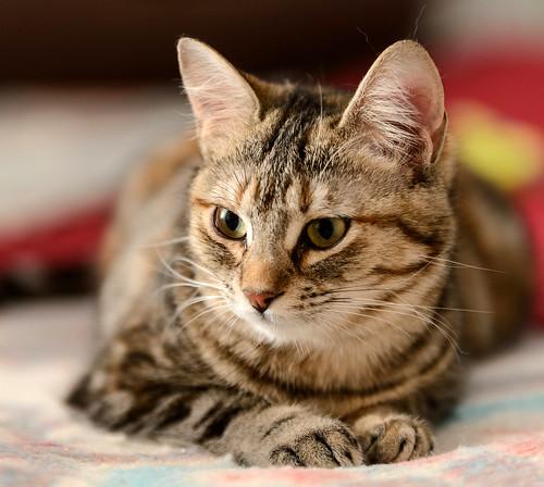 Sahara, gatita parda con toques naranja preciosa y mimosona esterilizada, nacida en Agosto´17 en adopción. Valencia. ADOPTADA.  40422966652_63b6dcf5b3