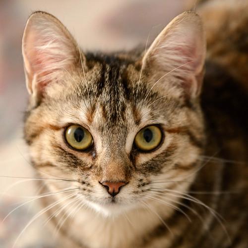 Sahara, gatita parda con toques naranja preciosa y mimosona esterilizada, nacida en Agosto´17 en adopción. Valencia. ADOPTADA.  39570901085_74de6603c4
