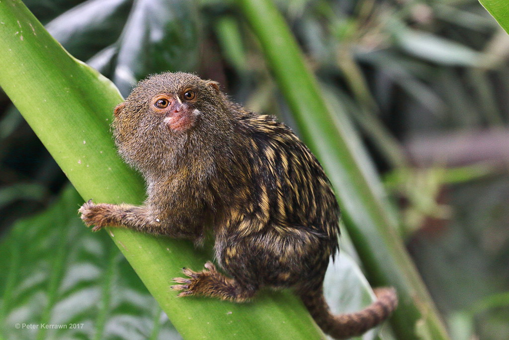 pygmy marmoset | Pygmy Marmoset - normally found in the ...