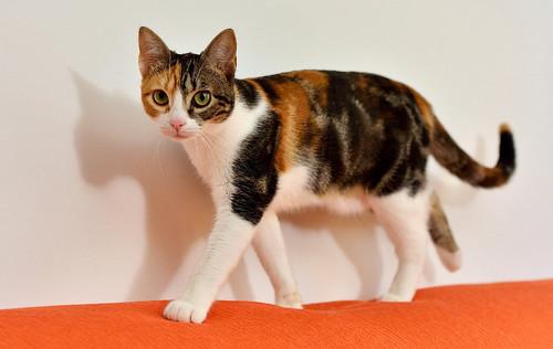 Freya, guapísima y activa gata tricolor jaspeada tabby esterilizada nacida en Mayo´16 en adopción. Valencia. 39732256032_658770def4
