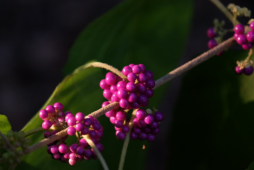 American Beautyberry in the afternoon sun | by skot917