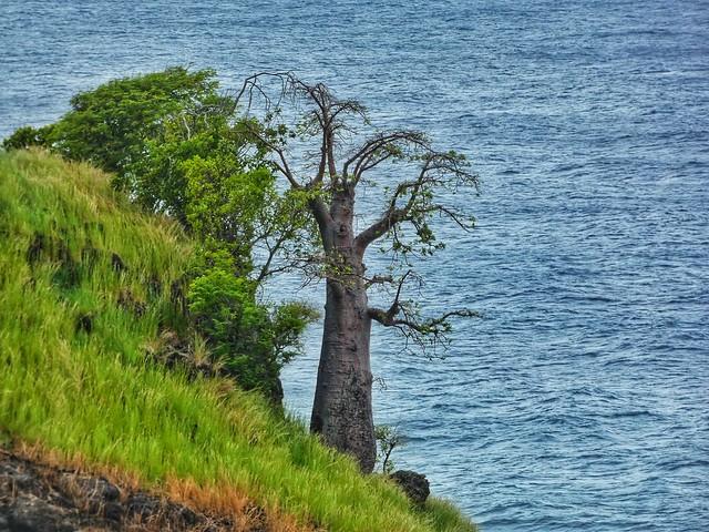 Baobab en Lagoa Azul (Santo Tomé y Príncipe)