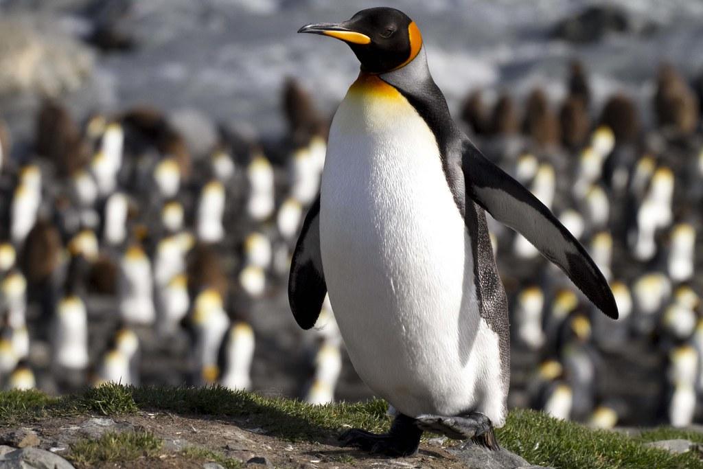 國王企鵝。Amanda B(CC BY-NC-ND 2.0)
