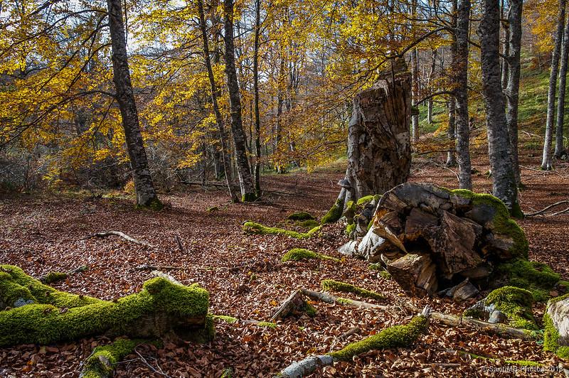 Haya muerta en el bosque de Olaberta