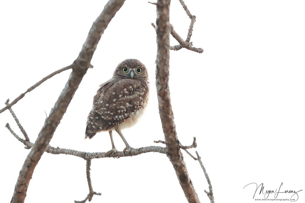 Within The Frame | Burrowing Owlet exploring in Florida. | Megan ...