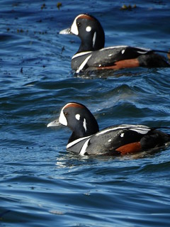 february 14 2018 14:53 - male Harlequin Ducks | by boonibarb