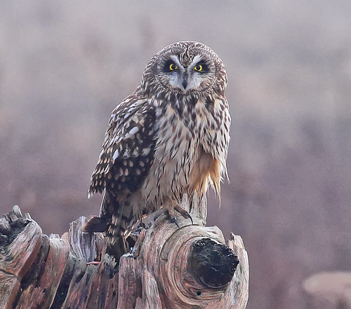 Short-eared Owl resting staring | by Rob -Alexander