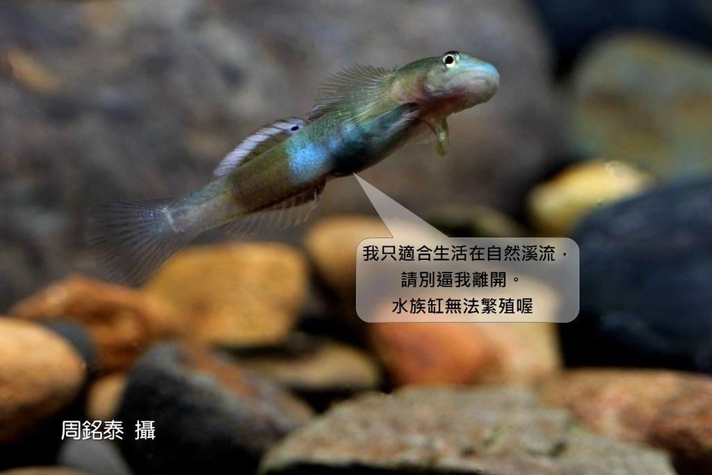 2_韌鰕虎(Lentipes armatus)(攝影:周銘泰)