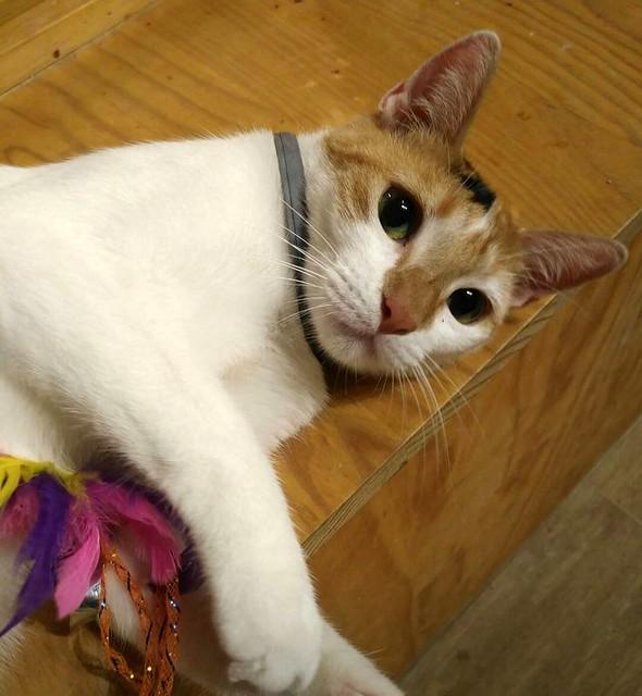 Pepi, gatita tricolor juguetona y mimosa esterilizada, nacida en Octubre´16, en adopción. Valencia. ADOPTADA.  24898761457_c74d7831e7_z