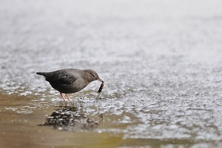 American Dipper | by Eric Lotto