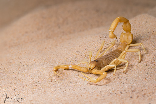 Shield-Tailed Scorpion | by mygale.de