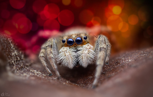 Jumping Spider | by Can Tunçer