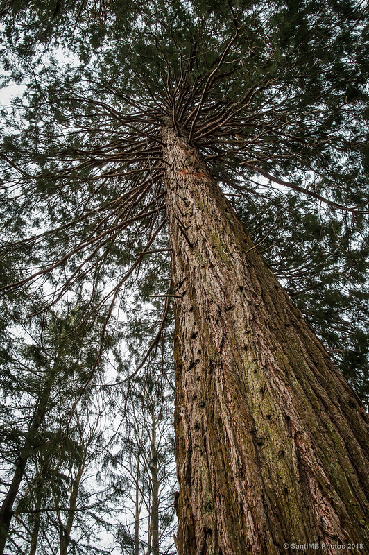 Plano contrapicado de una de las sequoias de Can Casades