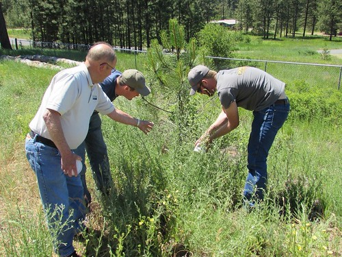 Larry Skillestad of USDA APHIS PPQ Spokane, Washington, overseeing the release of lesser knapweed flower weevil bioagents