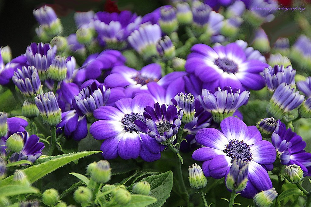 Senetti Plants And Flowers The Very Early Spring Flowers Flickr