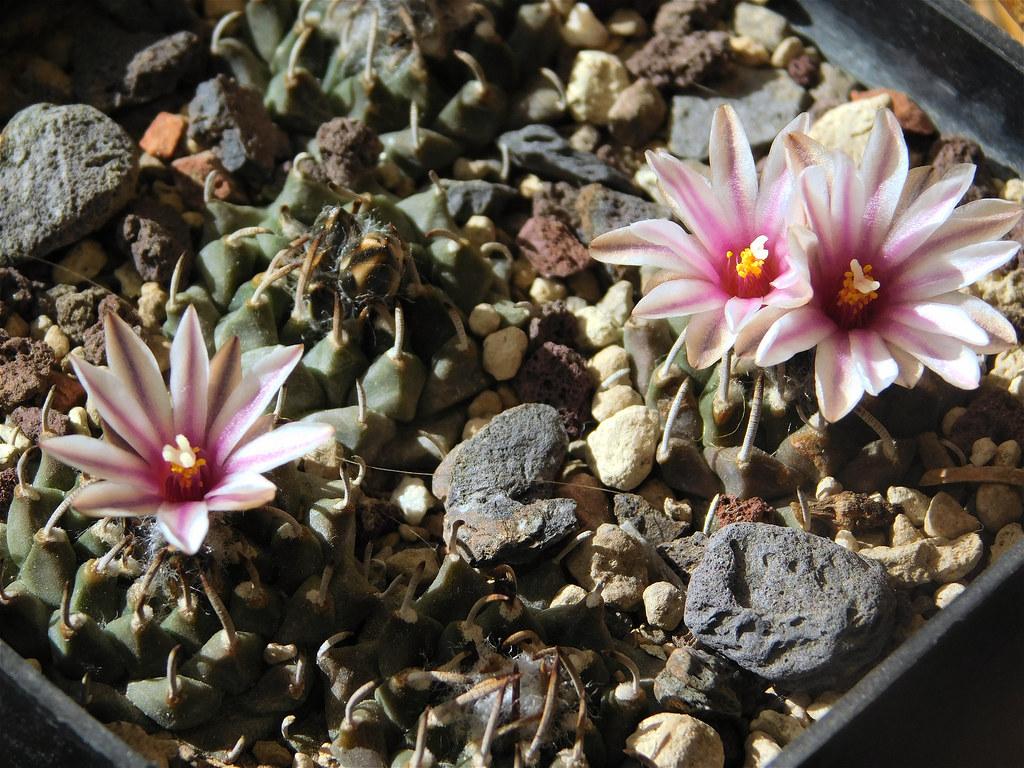Piltz Kakteen turbinicarpus panarottoi piltz 3238 blooming season resenter89