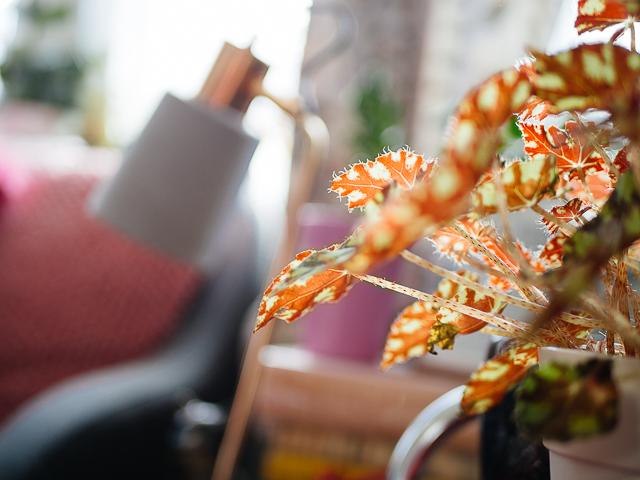 tiger paws begonia