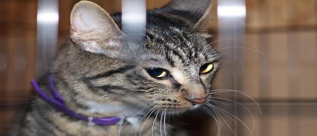 Cat Calming Collar On Aggressive Cat