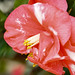Bloom of the Camellias