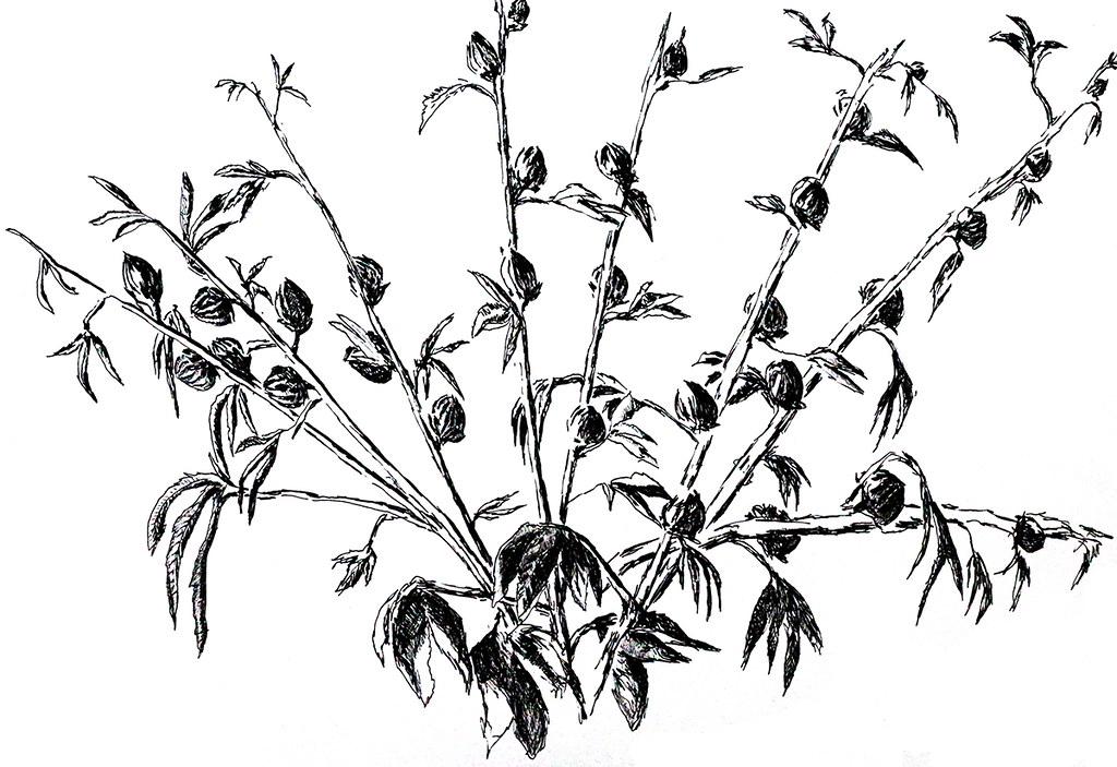 one of the flower drawings of flowers in pencil ink waterc
