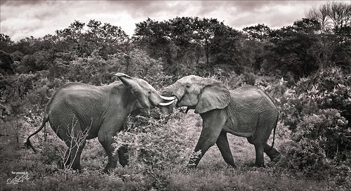 Image of two elephants at Kruger National Park in South Africa