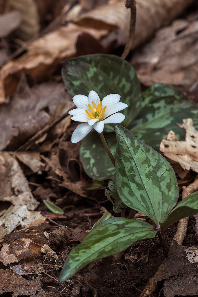 Blood Root growing between two Trillium cuneatum plants