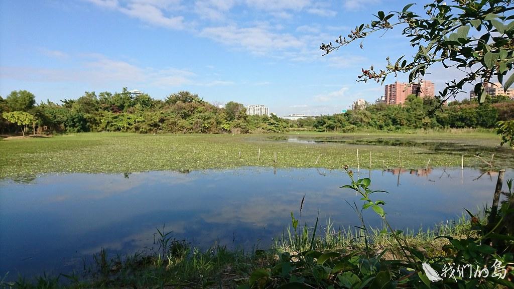 940-2洲仔濕地原是農田,旁邊的蓮池潭是灌溉埤塘,後來城市開發、陂塘消失,原本棲息水雉也失去了家。