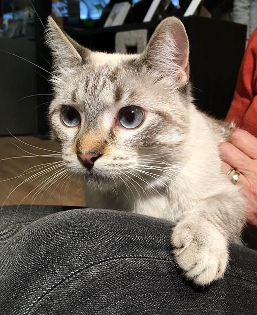 Mambo, gato siamés tabby extrovertido y bueno esterilizado, nacido en Febrero´17, en adopción. Valencia. ADOPTADO. 38946147905_7114158f78_z