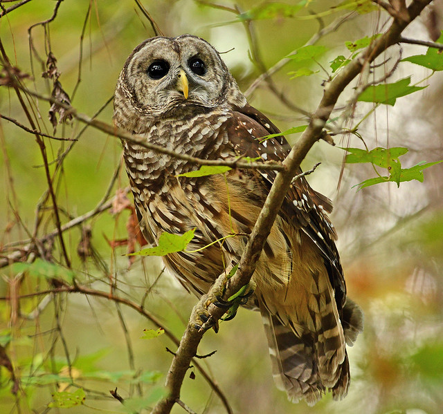 A Barred owl in a tree