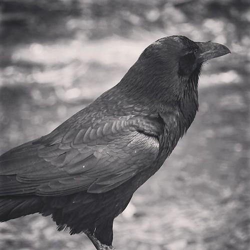 nature Raven Portrait 2 Santa Cruz...