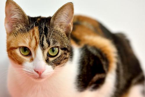 Freya, guapísima y activa gata tricolor jaspeada tabby esterilizada nacida en Mayo´16 en adopción. Valencia. 39054480574_ea3892d404