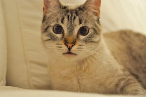 Mambo, gato siamés tabby extrovertido y bueno esterilizado, nacido en Febrero´17, en adopción. Valencia. ADOPTADO. 40200119801_e99ca35d91