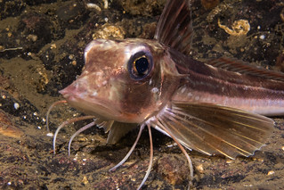 Grey Gurnard (Eutrigla gurnardus) | by Jlynott