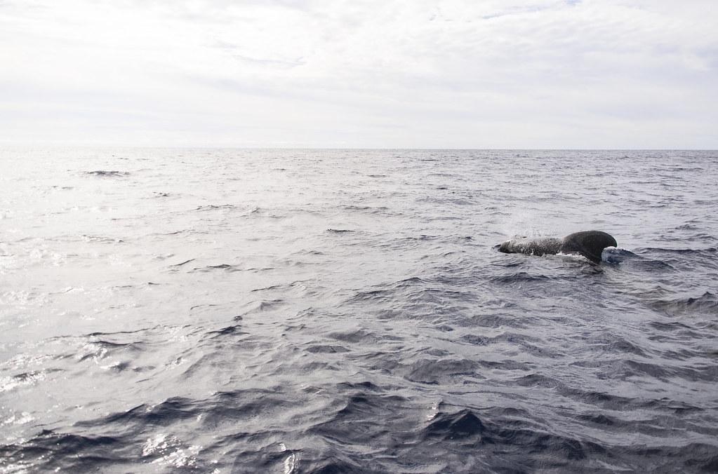 wieloryb wynurzający się z oceanu, Teneryfa