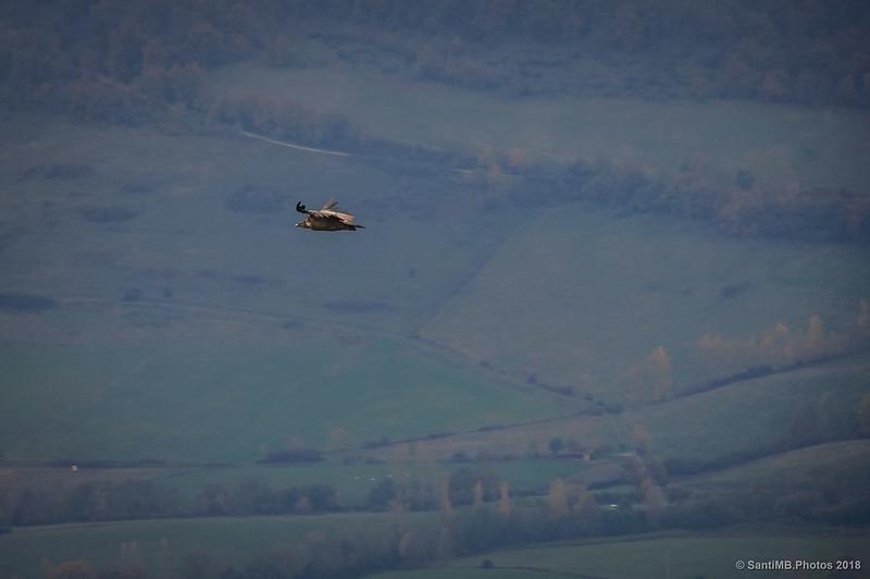 Buitre leonado sobrevolando el Valle de Ergoiena