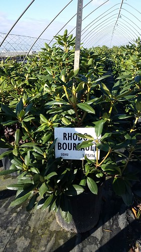 Rhododendron Boursalt 3 gal 18-24 | by Johnson Farms