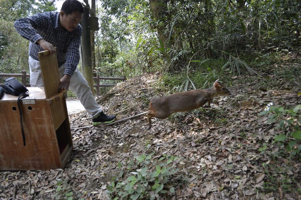 野放照護好的山羌。圖片提供:徐國楨。