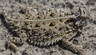 Texas Horned Lizard (Phrynosoma cornutum) | by Hunter Meakin