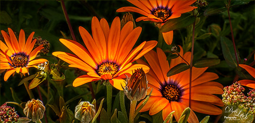Image of Orange Daisies